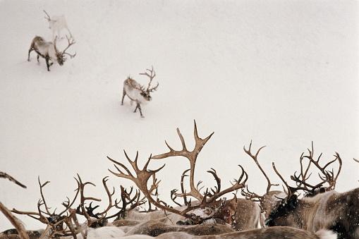 reindeer「Reindeer in snow-covered landscape, Chukotka Park, Russia」:スマホ壁紙(11)