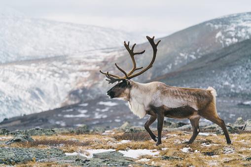 reindeer「Reindeer in Mongolia in winter」:スマホ壁紙(15)