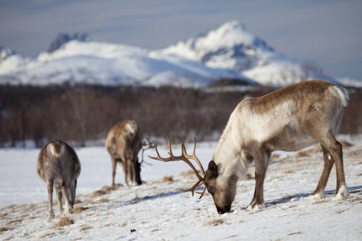 reindeer「Reindeer in Arctic Landscape, Tromso, Norway」:スマホ壁紙(6)