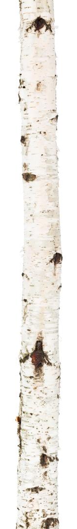 Log「Isolated birch trunk」:スマホ壁紙(19)