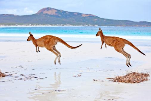 Animal Family「Red Kangaroos  (Macropus rufus) on a beach」:スマホ壁紙(15)