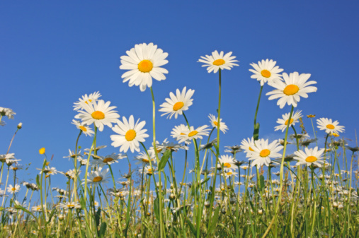 Uncultivated「Field of ox-eye daisies (Leucanthemum vulgare), low angle view, spring」:スマホ壁紙(18)