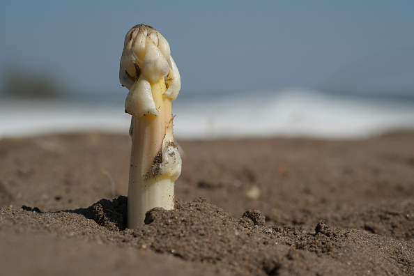 Beelitz「Asparagus Season Underway In Beelitz Region」:写真・画像(15)[壁紙.com]