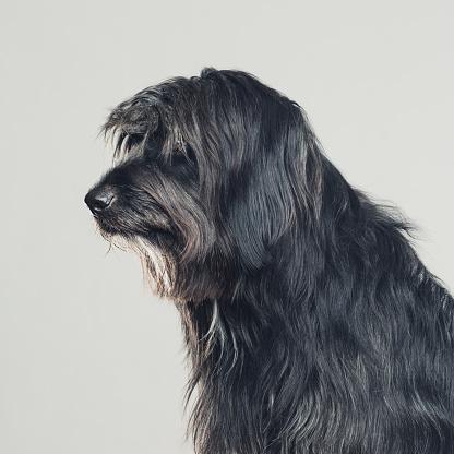 Long Hair「Sheepdog studio portrait profile view」:スマホ壁紙(13)