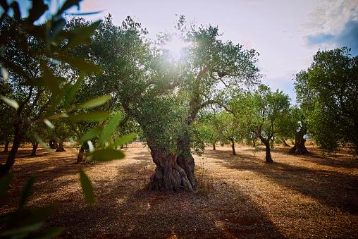 Grove「Italy, Apulia, Olive trees in back light」:スマホ壁紙(2)