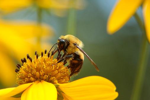 Botany「Mining Bee on Tickseed Sunflower, Bidens polylepis」:スマホ壁紙(16)