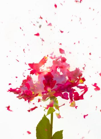 Petal「Exploding Flowers」:スマホ壁紙(13)