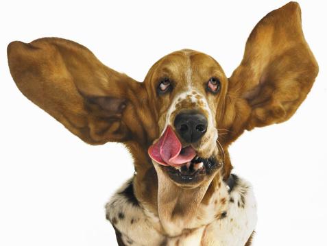 Animal Head「Basset hound with ears flying」:スマホ壁紙(1)
