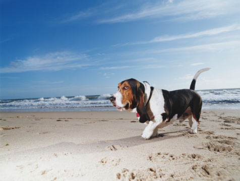 Walking「Basset hound walking on beach, ground view」:スマホ壁紙(7)
