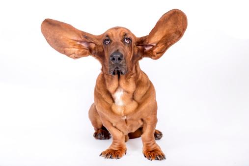 Animal Ear「Basset hound」:スマホ壁紙(2)