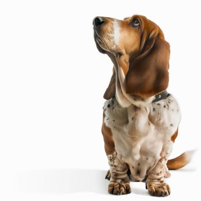 Loyalty「Basset Hound looking up」:スマホ壁紙(9)