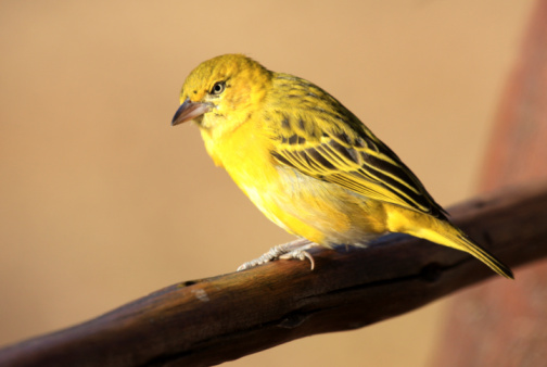 Canary「Brimstone Canary in Kruger Park, South Africa」:スマホ壁紙(7)