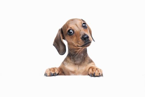 Puppy「Pedigree Dachshund puppy」:スマホ壁紙(1)