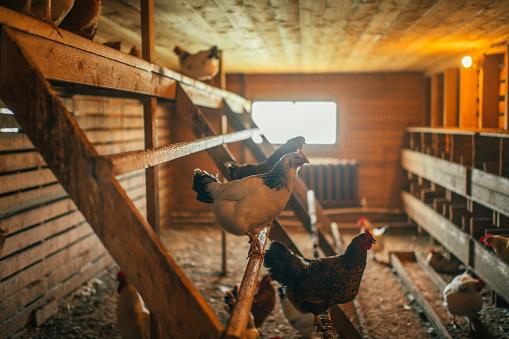 Chicken Meat「Chicken indoors in a farm」:スマホ壁紙(5)