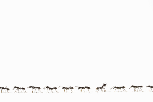 Medium Group Of Animals「Ants (Eciton quadrigtume) in line, one facing opposite way, side view (Digital Composite)」:スマホ壁紙(13)