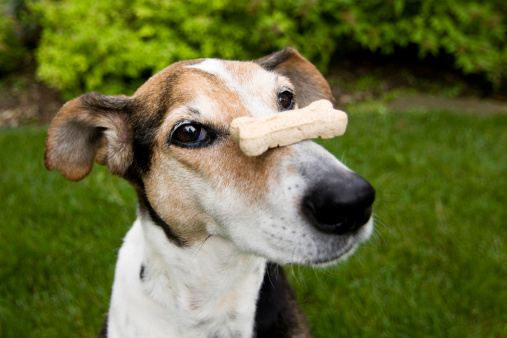 Snack「A patient dog with a dog treat balancing on his nose」:スマホ壁紙(9)