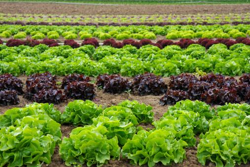 Paddock「Lettuce Field」:スマホ壁紙(18)