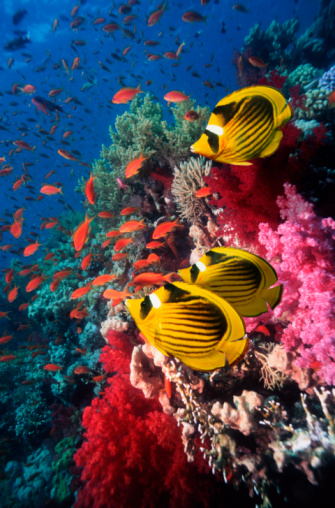 Soft Coral「Red sea racoon butterfly fish (Chaetodon fasciatus) over coral reef」:スマホ壁紙(7)