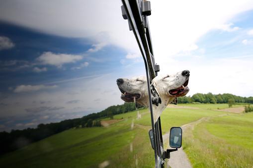 Sideways Glance「Mongrel looking out of window of off-road vehicle」:スマホ壁紙(6)