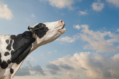 Females「Mooing Holstein Cow」:スマホ壁紙(5)