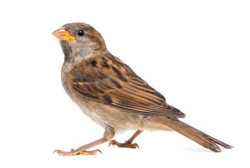 Belgium「House Sparrow」:スマホ壁紙(10)