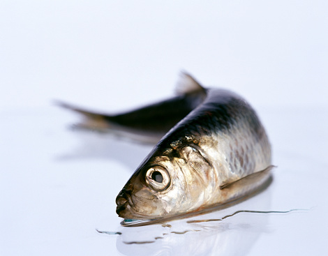 ウェルシュ・コーギー「dead fish」:スマホ壁紙(6)