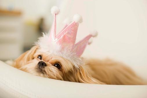 Crown - Headwear「Dog with a crown」:スマホ壁紙(18)