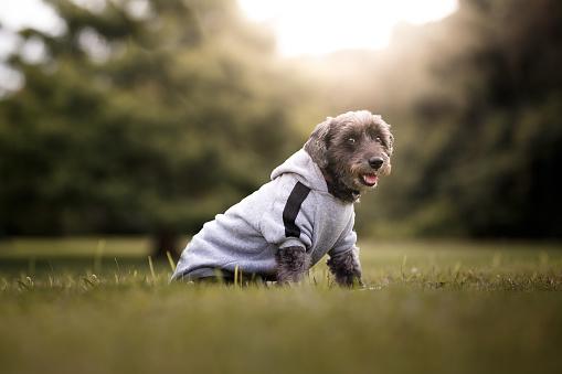 Sweatshirt「Fluffy mutt dog wearing sweatshirt」:スマホ壁紙(18)