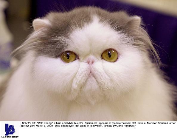Purebred Cat「International Cat Show」:写真・画像(19)[壁紙.com]