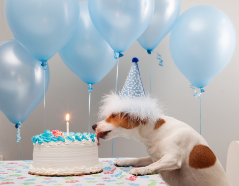 Jack Russell Terrier「Dog licking birthday cake」:スマホ壁紙(5)