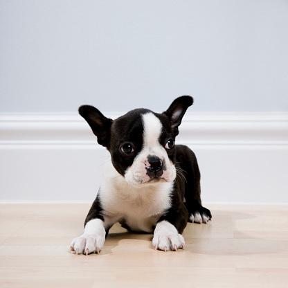 Part of a Series「boston terrier puppy」:スマホ壁紙(8)