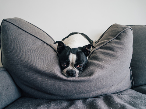 Pets「Boston Terrier lounging on couch」:スマホ壁紙(0)