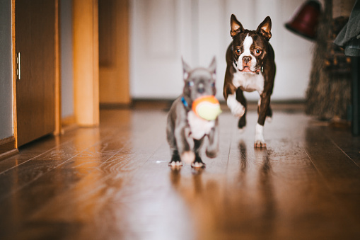 Pursuit - Concept「Boston Terrier dog chasing French Bulldog puppy with ball in his mouth」:スマホ壁紙(15)