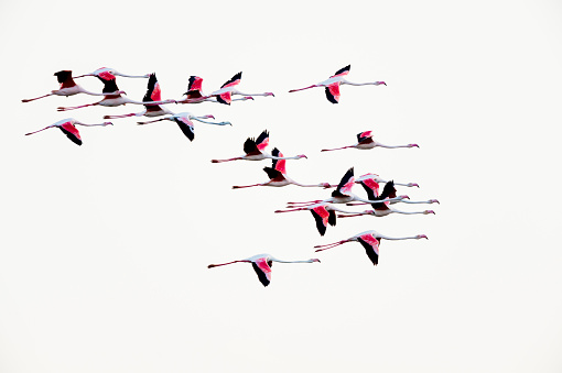 Flock Of Birds「European flamingo in flight」:スマホ壁紙(2)