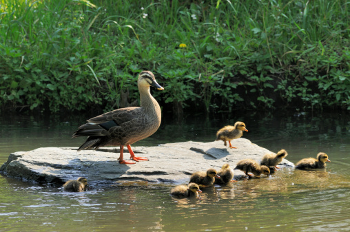 Water's Edge「Family of  eastern spot-billed duck」:スマホ壁紙(11)