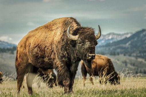 Horned「Buffalo grazing in grassy rural field」:スマホ壁紙(10)