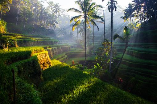 Indonesia「Tegallalang Rice terraces at sunrise」:スマホ壁紙(7)