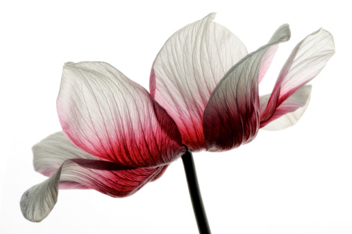 Flower Head「Red-white anemone in front of white background」:スマホ壁紙(6)