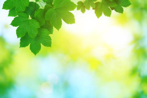 かえでの葉「新鮮な葉」:スマホ壁紙(14)