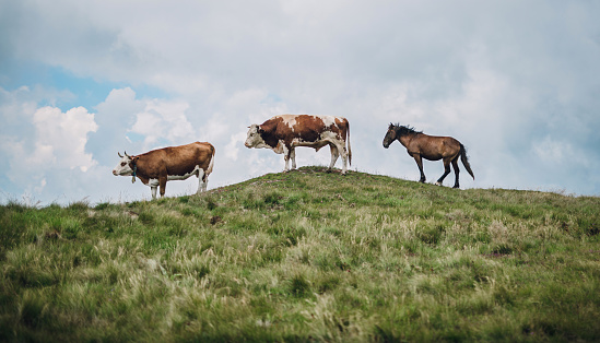 Cow「Cows on mountain meadow」:スマホ壁紙(18)