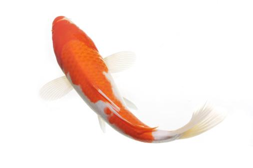 Koi Carp「Gold fish」:スマホ壁紙(10)
