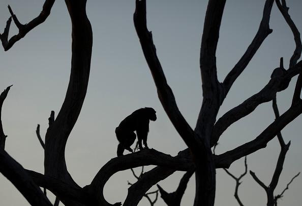 Tree「Rehabilitating Chimpanzees - A Labour Of Love」:写真・画像(4)[壁紙.com]