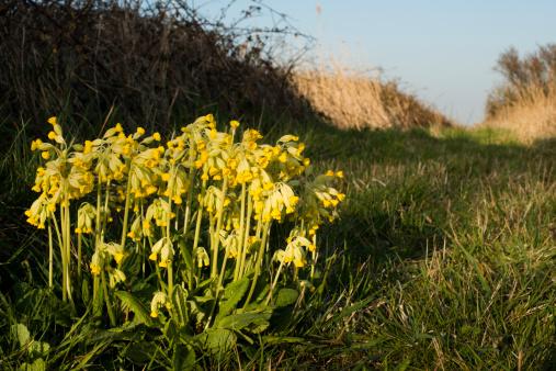 Calais「Cowslips, wildflowers in France」:スマホ壁紙(12)