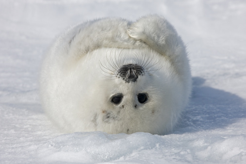Animal Whisker「Baby Artic Seal in Canada」:スマホ壁紙(9)