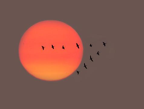 Flock Of Birds「Migrating birds at sunrise.」:スマホ壁紙(12)