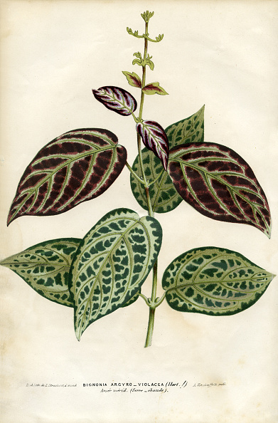 Botany「Bignonia」:写真・画像(10)[壁紙.com]