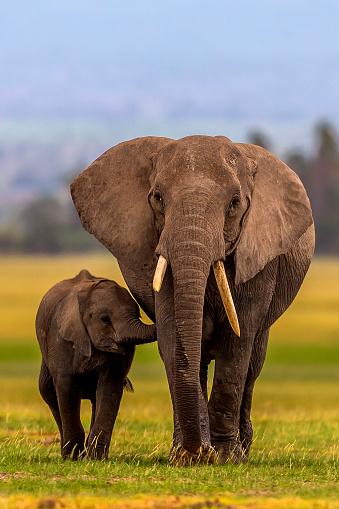 Walking「African Elephant baby suckles mother」:スマホ壁紙(13)
