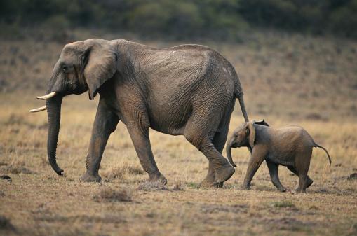 Walking「African elephant (Loxodonta africana) and calf walking, Masai Mara N.R, Kenya」:スマホ壁紙(2)