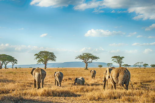 Safari「African Elephants in the plains of Serengeti, Tanzania」:スマホ壁紙(10)