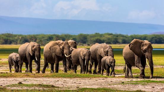 Walking「African Elephant herd」:スマホ壁紙(10)